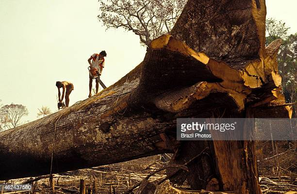 Logging Amazon rainforest clearance workers cut down a large tree using chainsaw