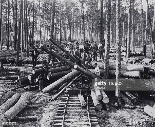 A logging crew stands among cut old growth longleaf pine near the settlement of Neame now called Anacoco in Vernon Parish Louisiana