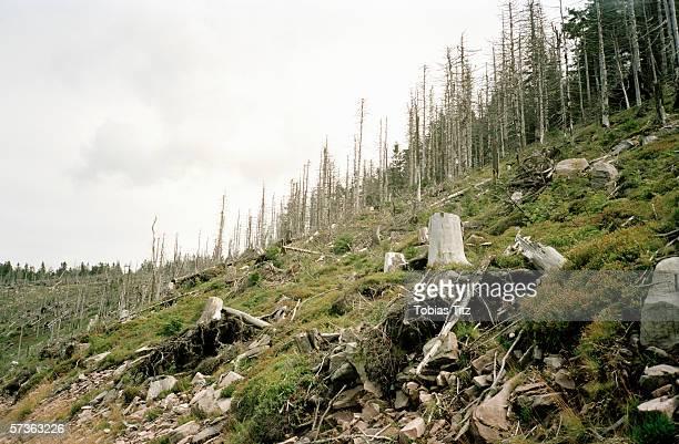 Logging of forest plantation
