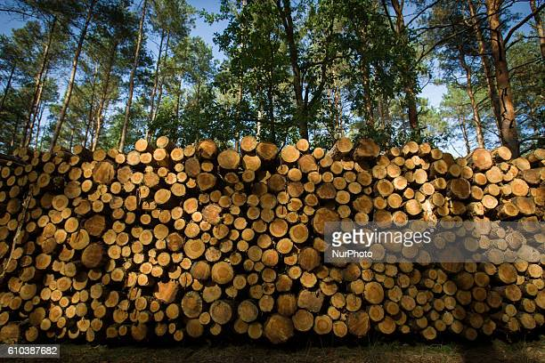 Logs are seen from cut trees in one of Polands largest open parks, Myslecinek, near Bydgoszcz, Poland,on September 25 2016. Poland is home to the...