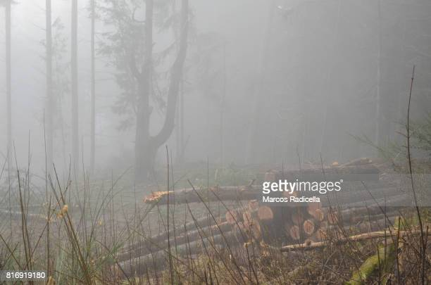 logs in misty forest - radicella imagens e fotografias de stock