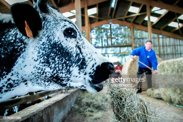 Loick Crampon, farmer, feeds his cows, near Grumesnil, northern France on September 7, 2020. - One of Crampon's donkey has been attacked and killed...