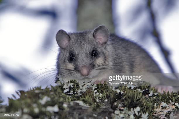 Loir gris dans un pommier Fat Dormouse in a apple tree Myoxus glis
