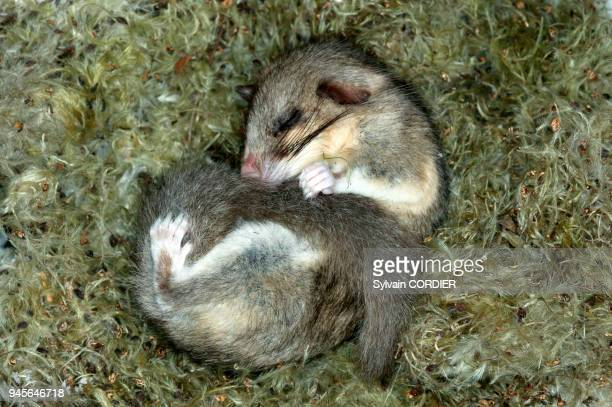 Loir gris en hibernation fat dormouse hibernating Myoxus glis loir gris en hibernation fat dormouse hibernating Myoxus glis.