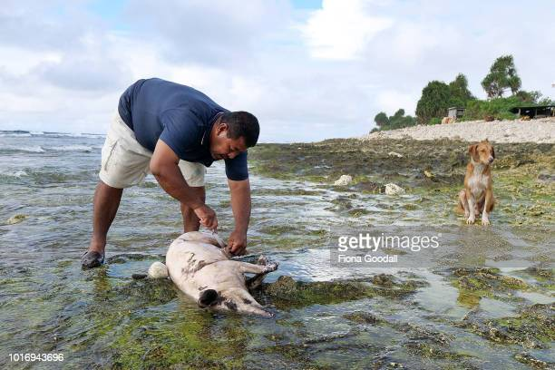 Loisio Kale shaves a pig in the sea for a 21st celebration in the evening on August 15 2018 in Funafuti Tuvalu The pigs are mainly housed next the...