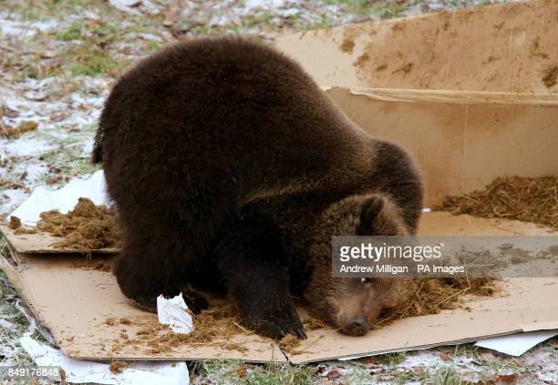 Loki the one year old European brown bear rolls in elephant dung as he celebrates his first birthday at Blair Drummond Safari Park near Stirling by...