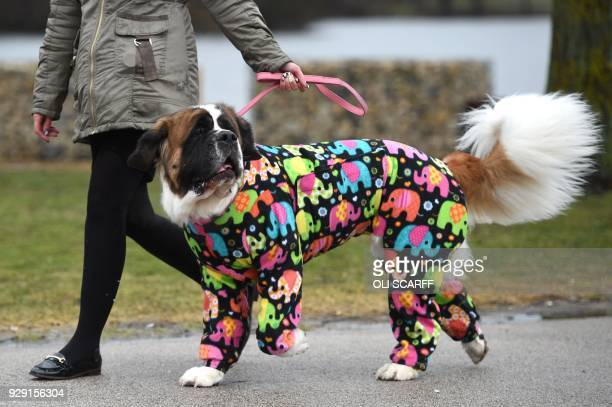 Lola, a 4 year old St Bernard arrives with its owner on the first day of the Crufts dog show at the National Exhibition Centre in Birmingham, central...