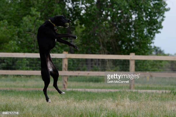 Lola leaps in the air to catch a tennis ball at USMC CPL David M Sonka Dog Park on June 14 in Parker Colorado The Town of Parker opened its long...