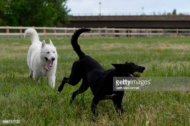 Lola retrieves a tennis ball at USMC CPL David M Sonka Dog Park on June 14 in Parker Colorado The Town of Parker opened its long awaited dog park and...