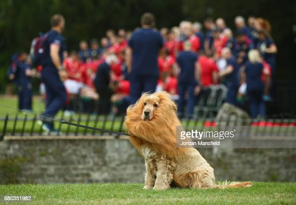 Lola the dog wears a mane as the players line up during a British and Irish Lions photo call at London Syon Park Hotel on May 8 2017 in London England