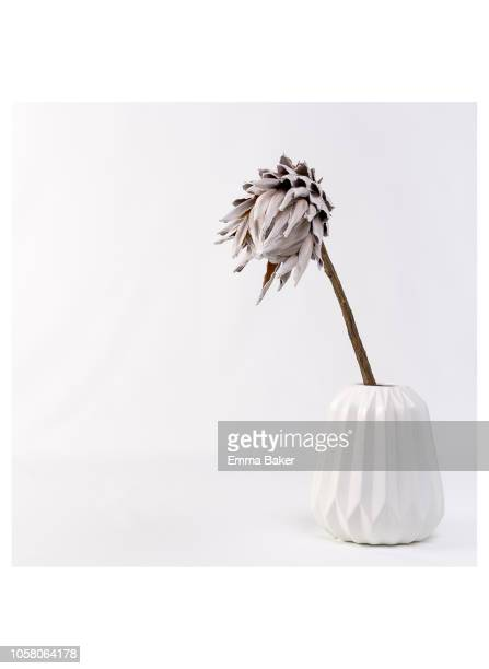 lolis - dried queen protea - emma baker stock pictures, royalty-free photos & images