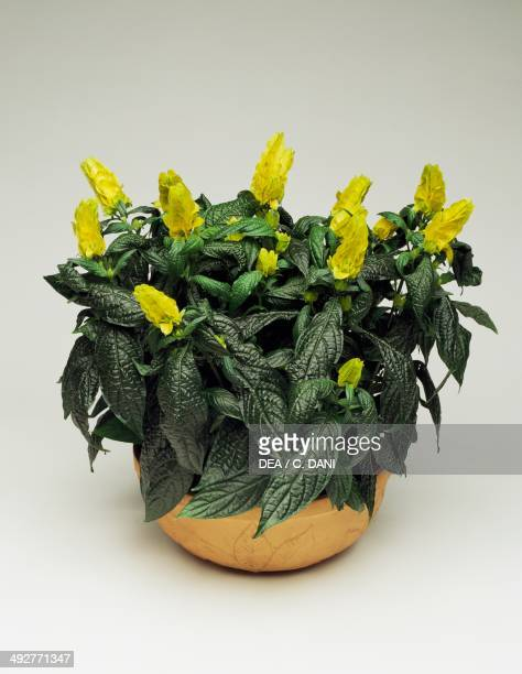 Lollipop plant and Golden shrimp plant Acanthaceae