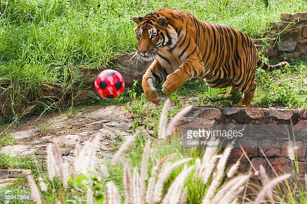 Lolo the tiger plays with a football in the South African National zoo on April 18 2010 in Pretoria South Africa The zoo held a soccer fever day for...