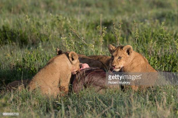 Lon Cubs