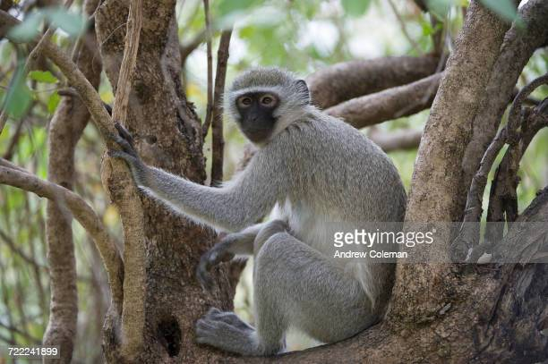 'A black faced vervet monkey, Chlorocebus pygerythrus, sitting amongst some branches.'