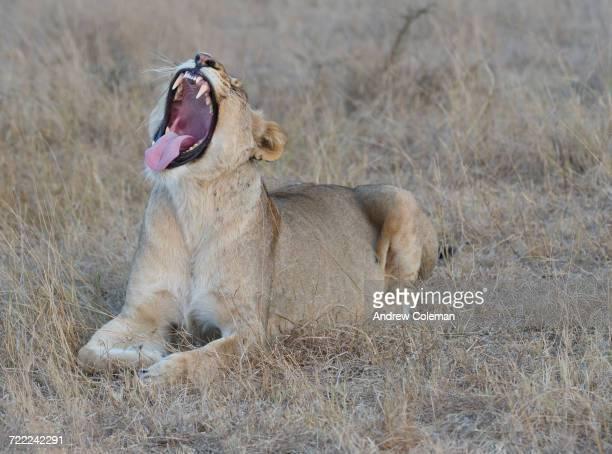 'A female lion, Panthera leo, showing teeth.'