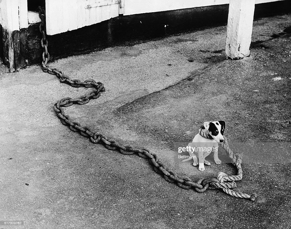 Small Dog on Large Chain : News Photo