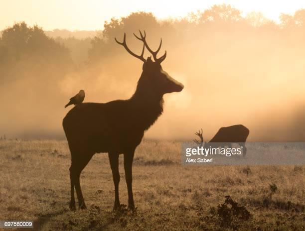 'A Red deer, Cervus elaphus, with Western jackdaw, Corvus monedula, in Londons Richmond Park.'