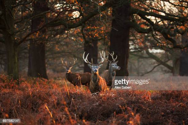 """Three Red deer, Cervus elaphus, standing in Londons Richmond Park."""