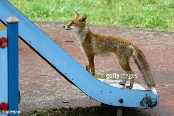 london fox - fox stock pictures, royalty-free photos & images