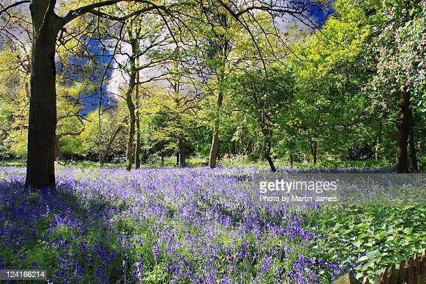 london holland park bluebells in - holland park stock pictures, royalty-free photos & images