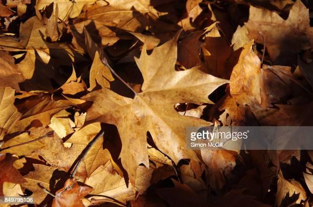 London Plane Tree leaves in Canberra, Australian Capital Territory, Australia