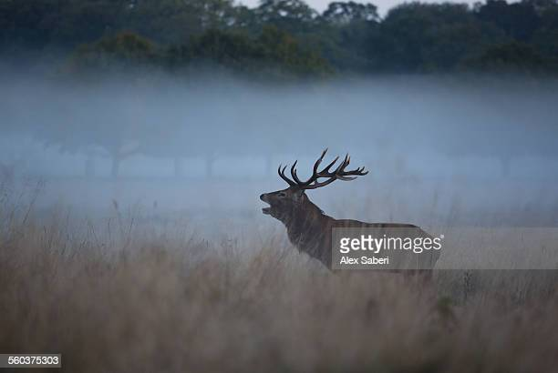 A red stag bellows out in a misty Richmond park, London, during the autumn rutting season.