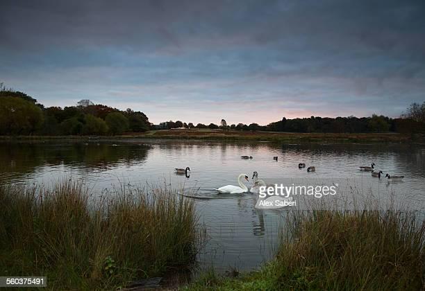 london , richmond park , england - alex saberi photos et images de collection