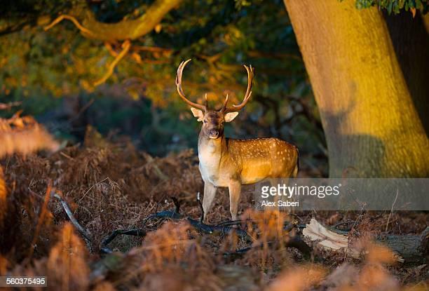 london , richmond park , england - alex saberi stock pictures, royalty-free photos & images