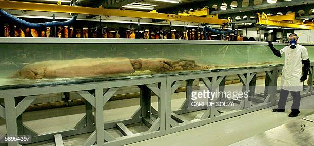 A giant squid measuring 862m is displayed at the Natural History Museum in London 28 February 2006 The giant squid is believed to be one of the...