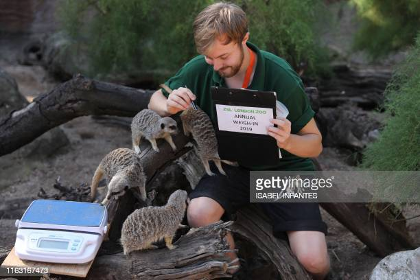 London zoo employee Luke Taylor weighs Dracula and the meerkats on a scale during a photocall at London Zoo on August 22 to promote the zoo's annual...
