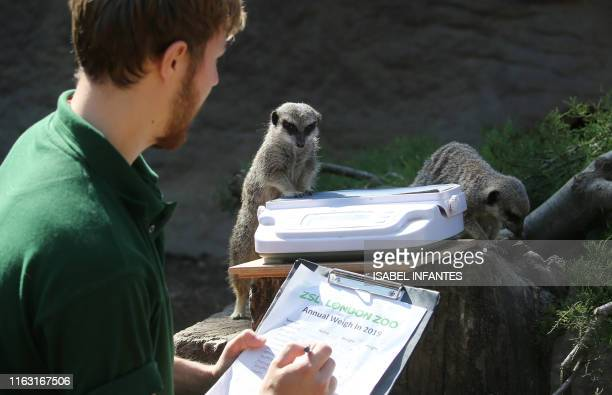 London zoo employee Luke Taylor weighs meerkats on a scale during a photocall at London Zoo on August 22 to promote the zoo's annual weighin event