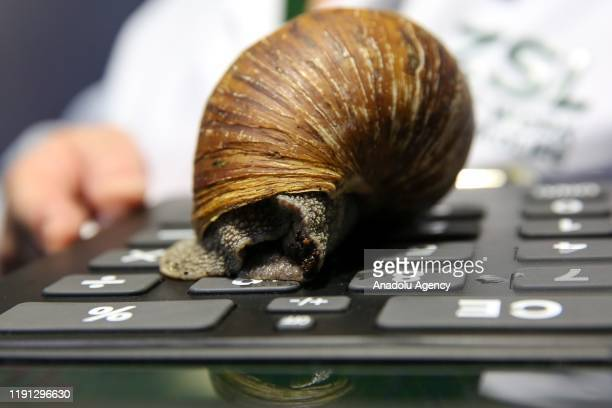 London Zoo keeper holds a Giant African Land Snail during the annual stocktake at London Zoo in London United Kingdom on January 2 2020 London Zoo...