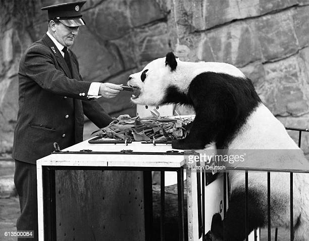 London Zoo keeper Sam Morton feeds a chocolate bar to giant panda Chi Chi after her unsuccessful mating trip to Moscow England 1966