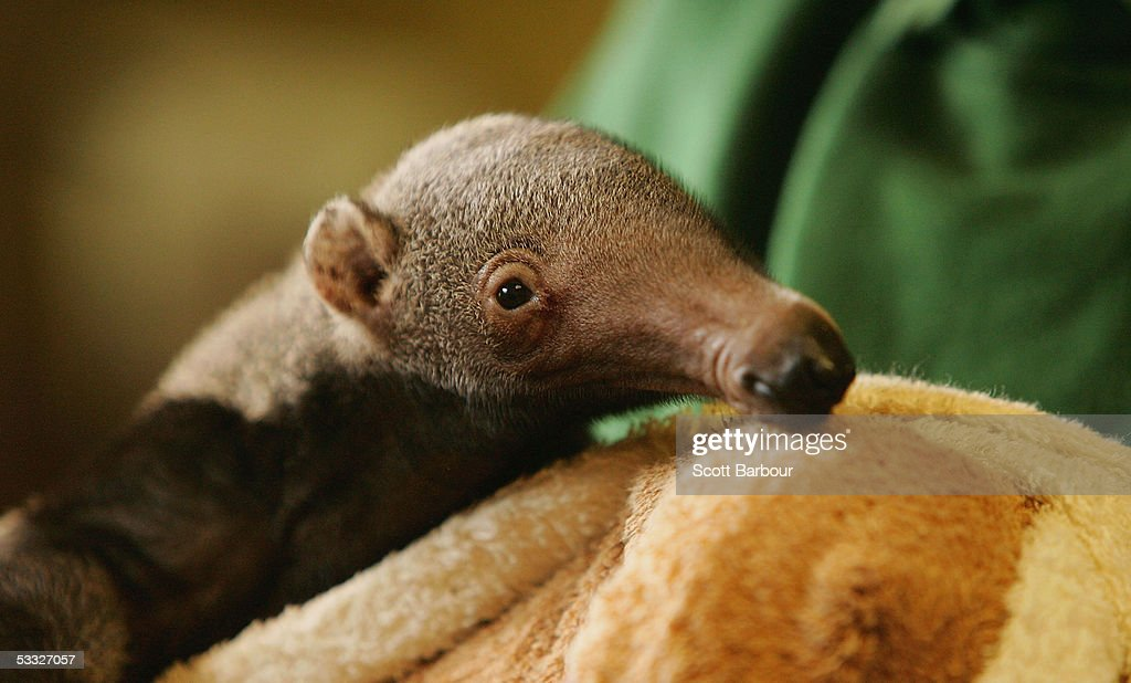 London Zoo Welcomes Baby Anteater : News Photo