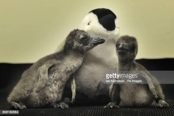 ZSL London Zoo's most recent arrivals African black footed penguins Primrose and Regents named after local landmarks Primrose Hill and Regents Park...