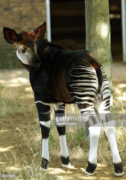 London Zoo's newest edition to the okapi family the female okapi Antonia born 01 July stands out inher keep 14 August 2003 The okapi is often...