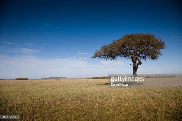 Lone Acacia on the Maasai Mara