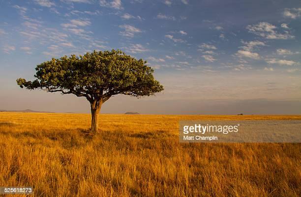Lone Acacia Tree on Serengeti Plain