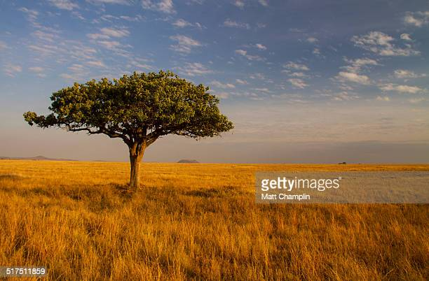 Lone Acacia Tree on Serengeti Plains