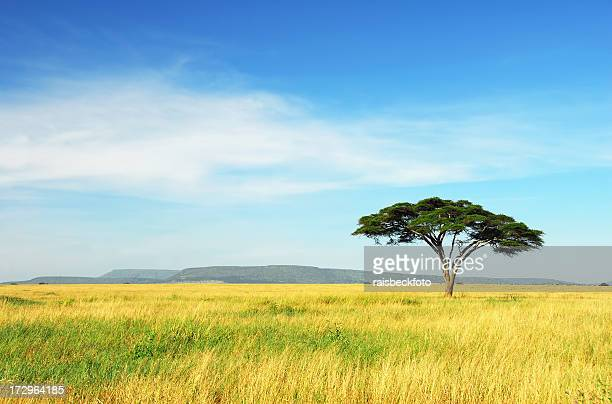 Lone Acacia, Serengeti National Park, Tanzanie