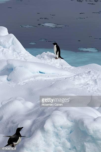 lone adelie penguin is joined by another penguin - antarctic sound fotografías e imágenes de stock