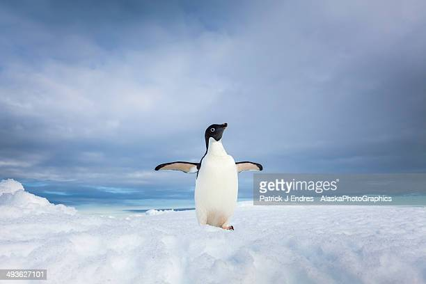 lone adelie penguin on iceberg in antarctica - adelie penguin stock pictures, royalty-free photos & images