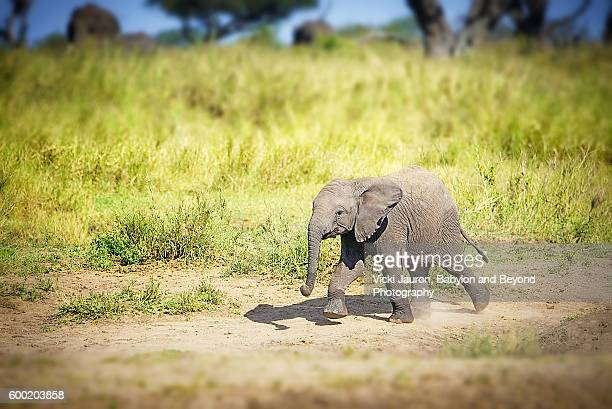 lone african elephant calf in the serengeti in tanzania - baby elephant stock photos and pictures