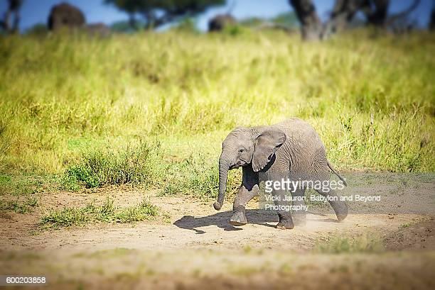 Lone African Elephant Calf in the Serengeti in Tanzania
