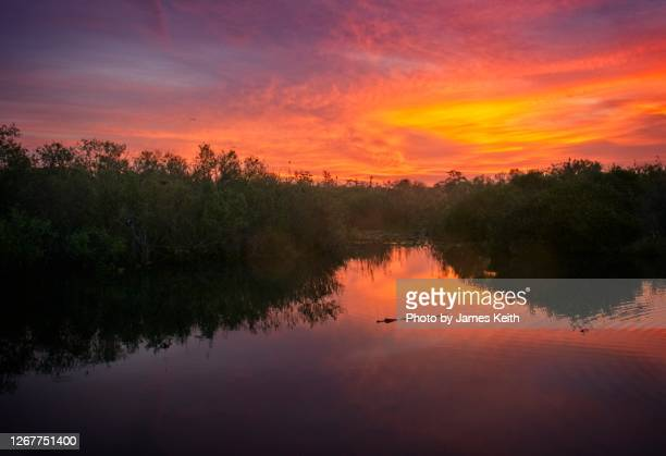 a lone alligator swims in the placid waters of the everglades at sunrise. - anhinga_trail stock pictures, royalty-free photos & images