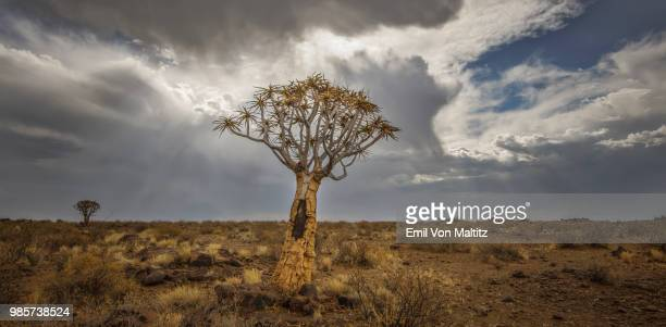 a lone and stark quiver tree and its rocky base, like some giant prehistoric dandelion, on the harsh and arid landscape. the grey and heavy stratocumulus clouds threaten rain from above. full colour horizontal landscape image. - köcherbaum stock-fotos und bilder