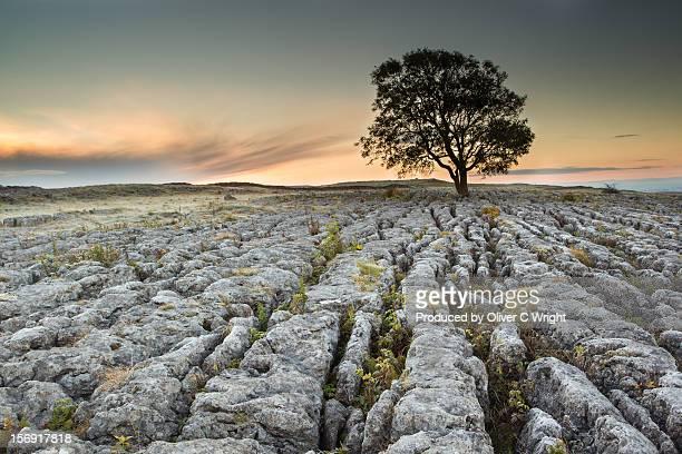 Lone Ash Tree on Limestone Pavement