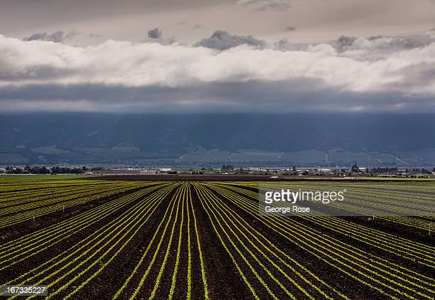 A lone backroad provides a view of a newly planted Salinas Valley lettuce field on April 4 near Gonzales California The Salinas Valley backdrop for...