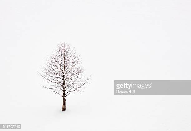 Lone Bare Tree In Snow
